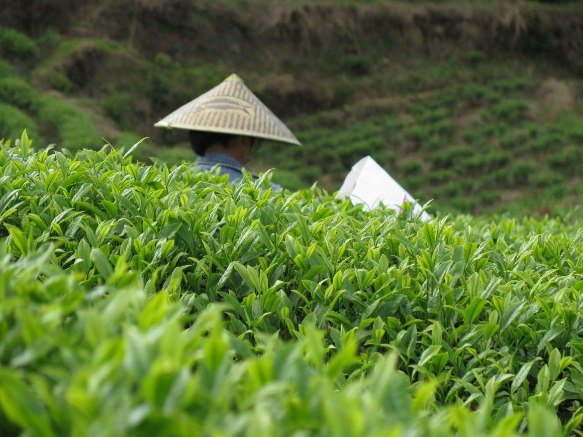 katrin Rougeventre, l'empire du thé, teasane, théier, plantations, thé de Chine