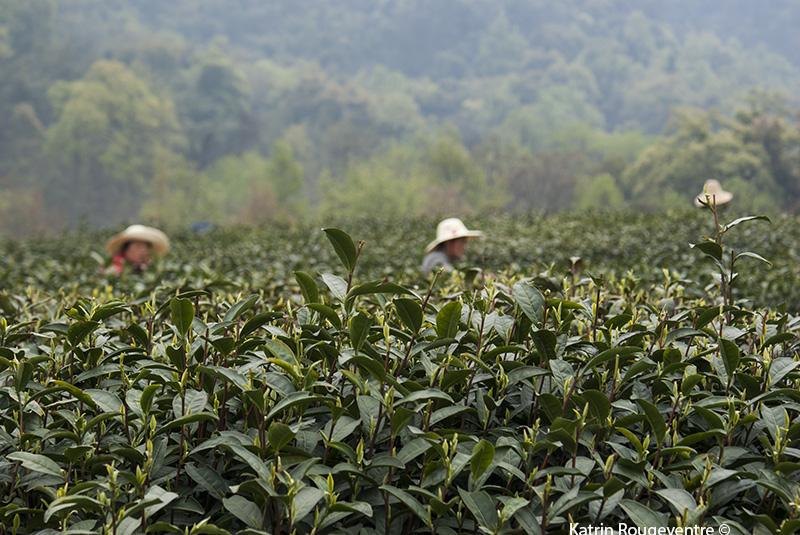 les couleurs du thé, familles de thé